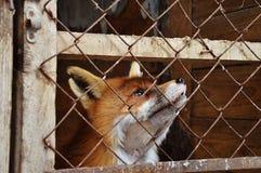 Een vos in de kooi Stock Foto's