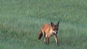Een vos in de vroege ochtend stock footage