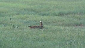 Een vos in de vroege ochtend stock video