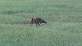 Een vos in de vroege ochtend stock videobeelden