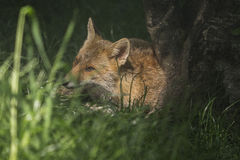 Een vos die tussen het gras van het kreupelhout wordt verborgen Stock Afbeelding