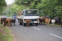 Een vrachtwagen waadt door een kudde van koeien lopend onderaan de weg Stock Afbeelding