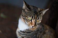 Een vreedzame binnenlandse korte haired gestreepte katkat Royalty-vrije Stock Foto's