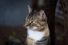 Een vreedzame binnenlandse korte haired gestreepte katkat Royalty-vrije Stock Afbeeldingen