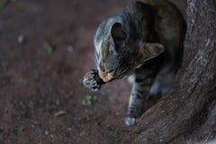 Een vreedzame binnenlandse korte haired gestreepte katkat die in actie zijn poten likken Stock Foto's