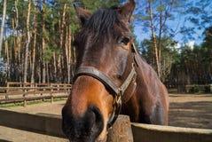 Een vriendschappelijk het kijken paard Royalty-vrije Stock Afbeeldingen