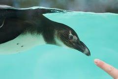 Een Vriendschappelijke Afrikaanse Pinguïn Royalty-vrije Stock Afbeeldingen