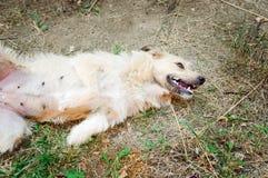 Een vriendschappelijke hond ligt op de grond met zijn omhoog buik stock foto's