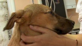 Een vrij jonge dierenarts controleert een puppy stock footage