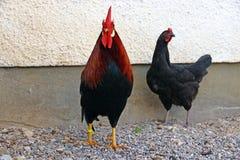 Een vrij kleurrijke haan en een zwarte kip Stock Fotografie