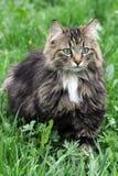 Een vrij Noorse boskat Royalty-vrije Stock Foto's