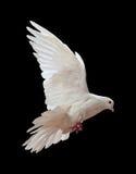 Een vrije vliegende witte duif die op een zwarte wordt geïsoleerd Royalty-vrije Stock Foto