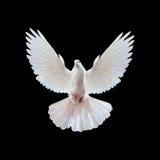 Een vrije vliegende witte duif die op een zwarte wordt geïsoleerd. Stock Foto's