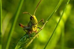 Een vrolijke het zingen sprinkhaan onder groen gras stock afbeelding