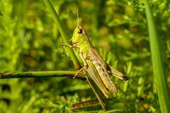 Een vrolijke het zingen sprinkhaan onder groen gras stock afbeeldingen