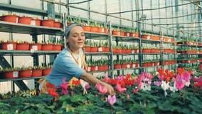 Een vrouw controleert cyclaam in potten en geeft hen water, die in een serre werken stock videobeelden