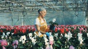 Een vrouw die cyclaam controleren bloeit in potten, die in een serre werken stock video