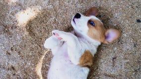Een vrouw die een maag van een gelukkige bruine pluizige puppy layingwith hand wrijven stock video