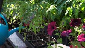 Een vrouw geeft tomatenplanten water stock video