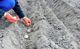 Een vrouw gekleed in het werkhandschoenen plaatst de aardappels royalty-vrije stock afbeeldingen