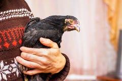 Een vrouw houdt op de handen een zwarte kip Het geven voor dieren groei stock foto
