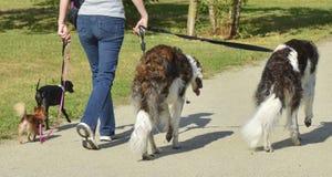 Een vrouw loopt gelijktijdig verschillende rassen van honden stock foto's
