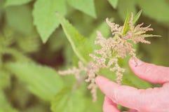 Een vrouw verzamelt en wat betreft een bloeiende netel: ecologisch stock fotografie