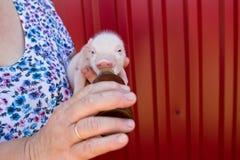 Een vrouw voedt melk een klein varken van een fles met een pacifi Royalty-vrije Stock Fotografie