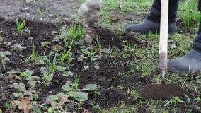 Een vrouw werkt in de tuin verwijderend gras uit de grond met een zwabber van schoffel stock videobeelden