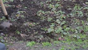 Een vrouw werkt in de tuin verwijderend gras uit de grond met een zwabber van schoffel stock footage