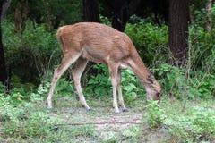 Een vrouwelijk hert stock afbeeldingen