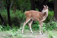 Een vrouwelijk hert royalty-vrije stock afbeeldingen