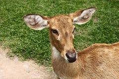 Een vrouwelijk hert Royalty-vrije Stock Foto's