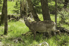 Een vrouwelijk hert in het bos plaatsen Stock Foto's