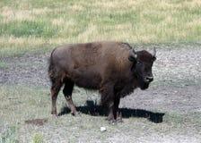 Een vrouwelijke bizon in Wyoming Royalty-vrije Stock Afbeeldingen