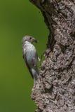 Een vrouwelijke bonte vliegenvanger bij nest ongeveer om zijn jongelui te voeden Royalty-vrije Stock Afbeelding