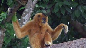Een vrouwelijke gibbonaap (geel-cheeked) zitting in een boom - langzame motie stock video