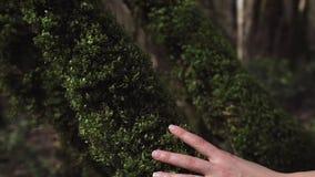 Een vrouwelijke hand raakt krullend mos op een boomboomstam in een close-up stock videobeelden