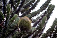 Een vrouwelijke kegel in een aap-Raadsel Stock Foto's