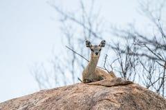 Een vrouwelijke Klipspringer die op een rots in Kruger leggen Stock Afbeeldingen