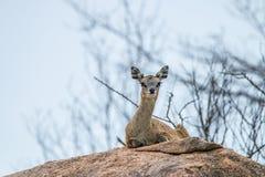 Een vrouwelijke Klipspringer die op een rots in Kruger leggen Stock Foto's