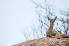 Een vrouwelijke Klipspringer die op een rots in Kruger leggen Royalty-vrije Stock Foto's