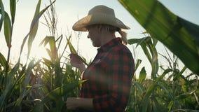 Een vrouwelijke landbouwer met een tablet in haar dient cornfield in De landbouwer onderzoekt het graan en registreert de resulta stock footage