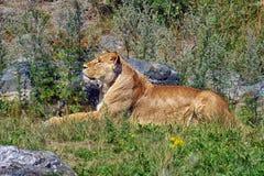 Een vrouwelijke leeuw Isn ` t zij een schoonheid 144982 Royalty-vrije Stock Fotografie
