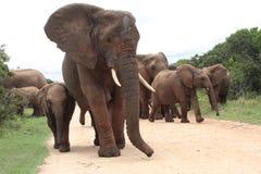 Een vrouwelijke olifant leidt haar kudde stock foto's