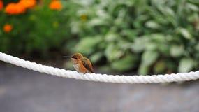 Een Vrouwelijke Rufous Kolibrie op een Kabel stock foto's