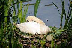 Een vrouwelijke stodde zwaanzitting op zijn nest Stock Afbeelding