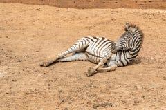 Een vrouwelijke veulen of babyzebra ligt op het zand in de dierentuin royalty-vrije stock foto's