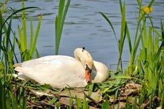 Een vrouwelijke zwaanzitting op zijn nest in de Lente Stock Fotografie