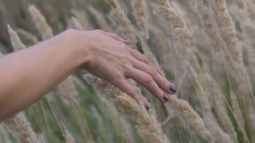 Een vrouwen` s hand besteedt door droog hoog gras en bloeit in de zomer op een gebied bij zonsondergang, het langzame schot van h stock video